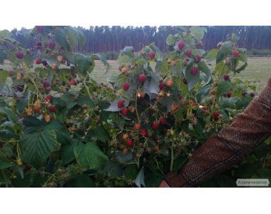 Саджанці малини сорту Полана
