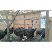 страуси молодняк 2-х льотки