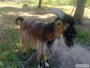 Продается козел на семя
