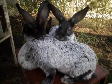 Продам кроленят Полтавського срібла