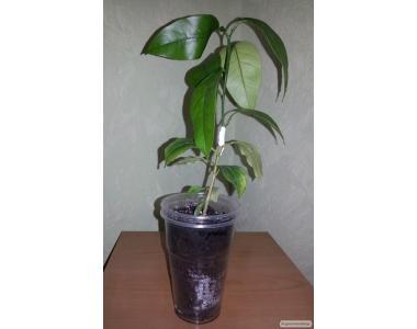 Кімнатні плодові рослини