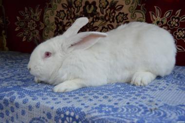 Продам кролики мясной породы Термонці