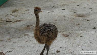 Продам чорного африканського страуса, молодняк страуса, страусят