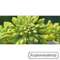 Семена ярового рапса Аіра. 1 репродукция