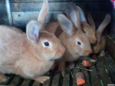 Кролики бургуни