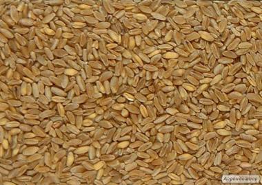 Продам твердую пшеницу 75т. (яровая\durum)