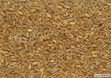 Продам тверду пшеницю 75т. (яра\durum)