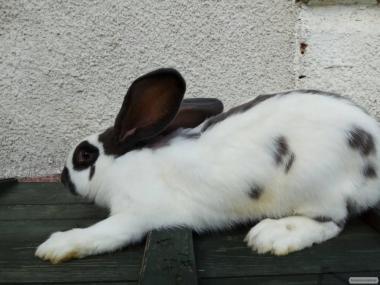 Продам кролі породи французький баран