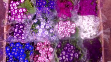 Цветы.Цинерарий.