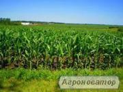 Кукурудза посівна Гран 5 (ВНІС)