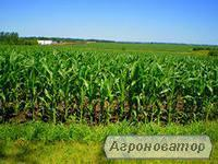 Кукуруза посевная Гран 5 (ВНИС)