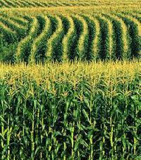 Тесла новий гібрид кукурудзи ВНІС