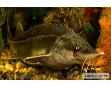 Пропонуємо чорну ікру зернисту осетрових риб.