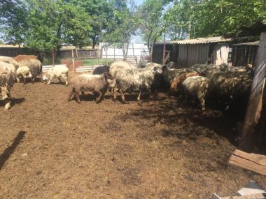Продам :баранов,овец,маток,ягнят ,по всем воп