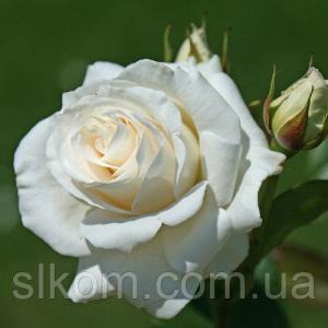 Роза белая чайно-гибридная Avalange (Аваланж)