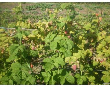 Урожайна малина ГленЕмпл