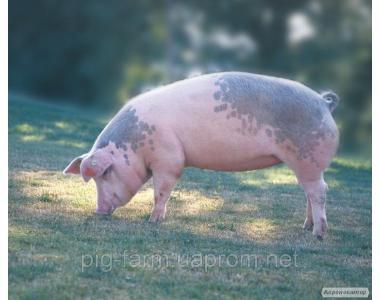 Гібридна свинка F1