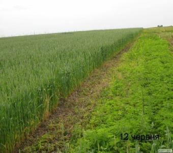 """Пшениця озима """"Скіпетр"""" для пізнього посіву"""