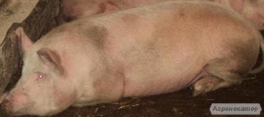 Свинина жива вага. Продам свинину живою вагою. р. Кривий Ріг