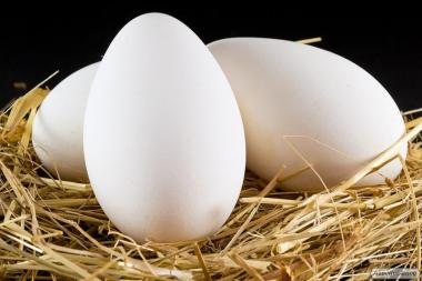 Яйца гусиные инкубационные