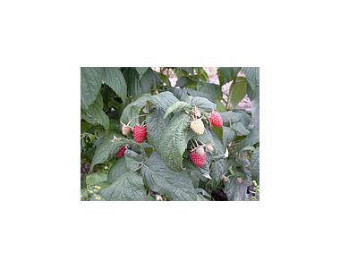 Саженцы малины Polana(Полана)
