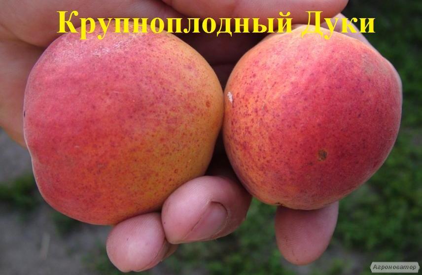 Саджанці абрикоса сорту Великоплідний Дуки від виробника