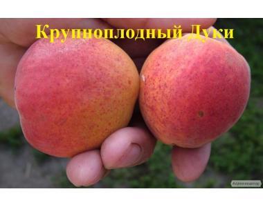 Саженцы абрикоса сорта Крупноплодный Дуки от производителя
