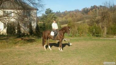 Верховые лошади породы Ганноверская