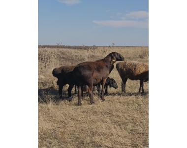 продам ярок племінних баранів курдючних овець на м'ясо молодих