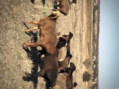 продам ярок племенных баранов курдючных овец молодых на мясо