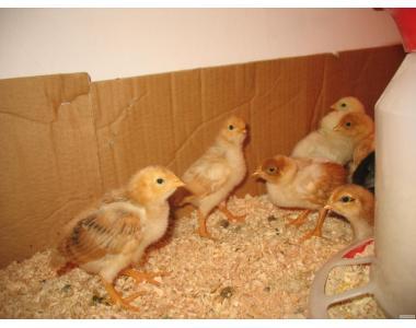 Продам підрощених курчат від несучки Ломан Браун