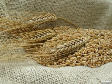 Продам якісне насіння твердої озимої пшениці сорту Шулиндінка