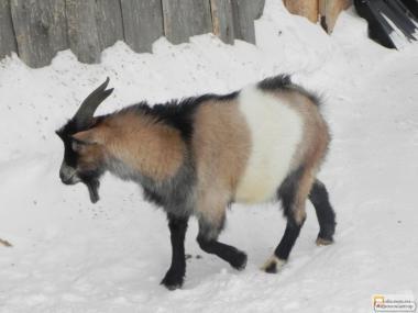 продам элитных породистых коз, козлов, козлят