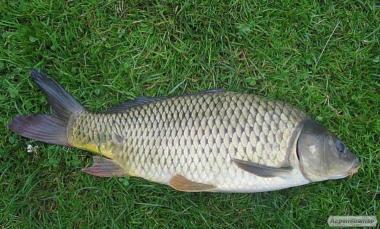 Продам живу рибу: короп, товстолобик, щука, карась, сом, амур+Зарибок