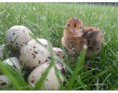 Перепелині інкубаційні яйця