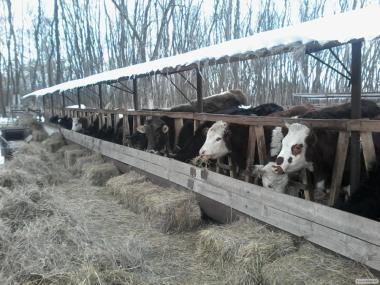 Корови і телиці тільні