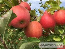 Продам яблука