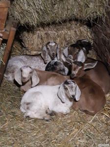 Продам  козликів,  нубійської породи