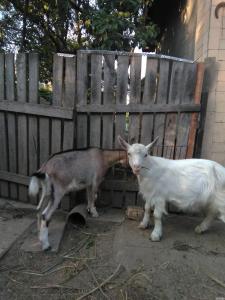 Продам річну дійну козу та двох козенят (козлик і козочка)