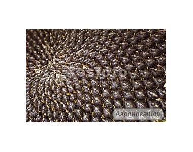 Семена подсолнечника Жалон экстра (Евралис Семенс)