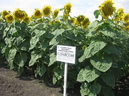 Славсон (97 дн) гібрид соняшника на пожнивний посів (m 1000 до 62 г)