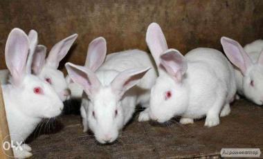кролики термонці