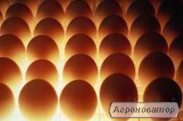 Продаем оптом инкубационное яйцо. Бройлер КОББ-500  И мясо яичных поро