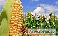 Насіння кукурудзи Шобби КС