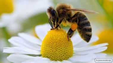 Бджолопакети чотирьохрамкові, порода Карпатка