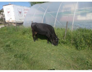 Продам молочну корову, породи чорно-ряба