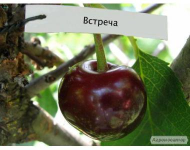 Саджанці крупноплодной супер вишні