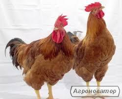 Цыплята.  Производитель. Доставка по Украине.