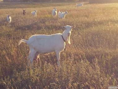 Продам зааненських кіз. І козлів теж.