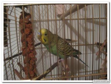 Продам Чумизу(корм для птахів і гризунів)